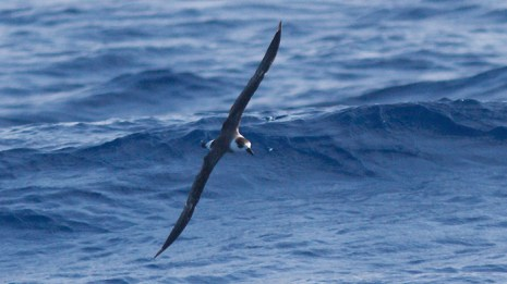 Black-capped Petrel (Photo by Mike Lanzone)