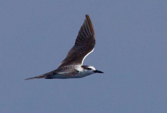 Bridled Tern, ~20 miles ESE off Hatteras, NC (Photo by Mike Lanzone)