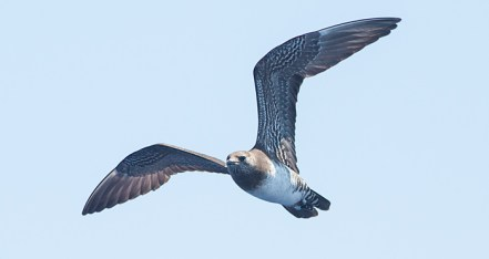 First year Long-tailed Jaeger, ~28 miles ESE off Hatteras, NC (Photo by Mike Lanzone)