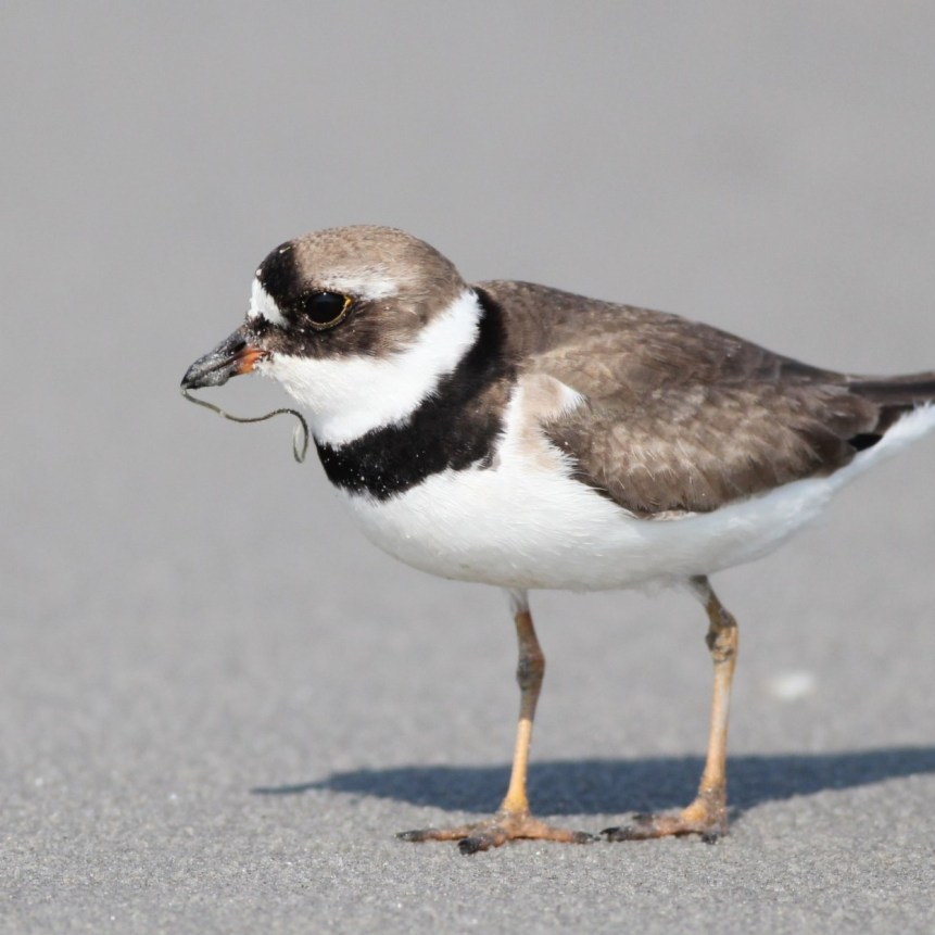 Semipalmated Plover with its delicious worm (Photo by Alex Lamoreaux)