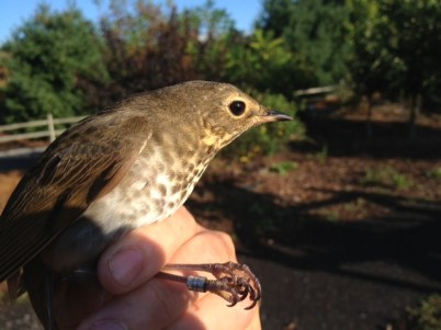 Swainson's Thrush - adult (Photo by Alex Lamoreaux)