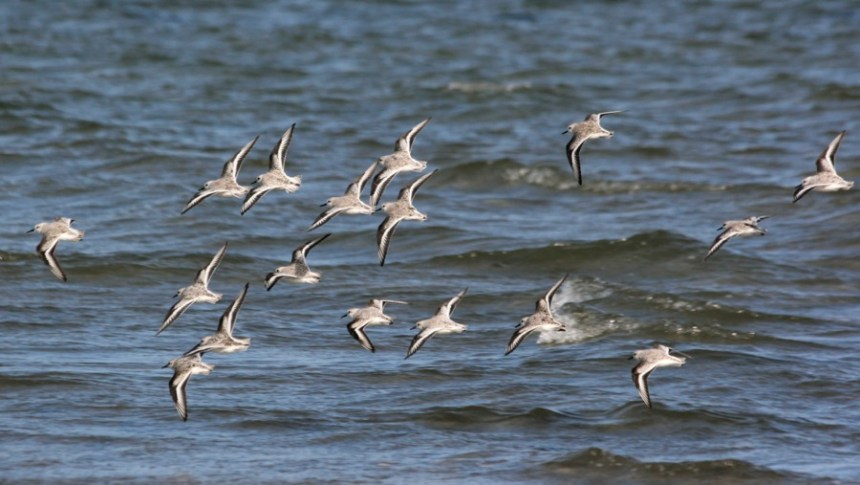 Flock on Sanderlings in flight (photo by Steve Brenner)