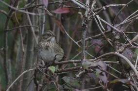 Lincoln's Sparrow (Photo by Alex Lamoreaux)