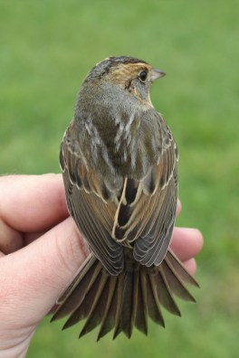 Nelson's Sparrow - immature (Photo by Alex Lamoreaux)
