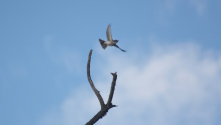 Gray Kingbird - Tim Schreckengost