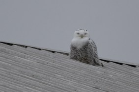 Snowy Owl - Shank Door, Berks County, PA (Photo by Alex Lamoreaux)