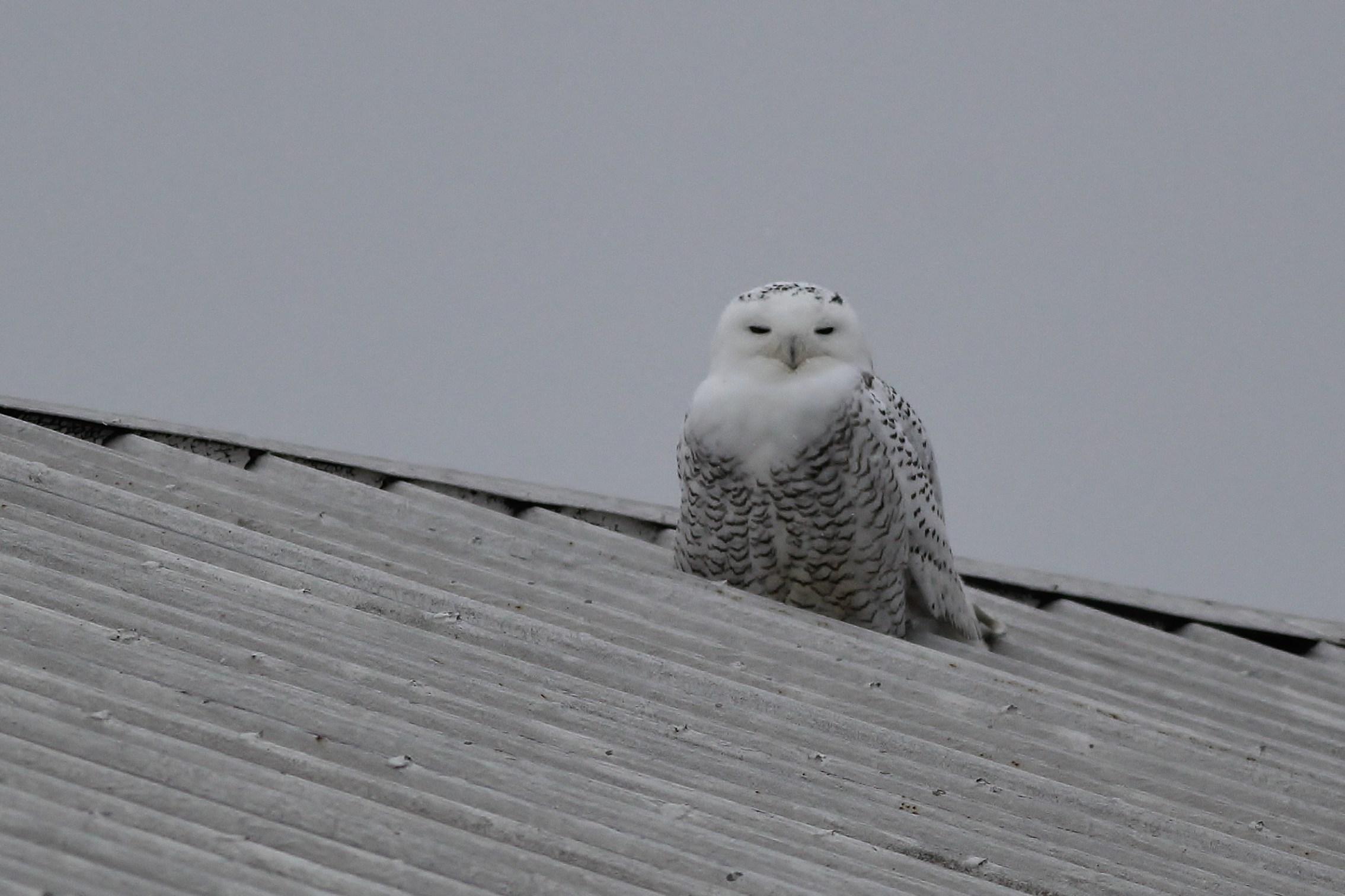 Snowy Owl - Berks County, PA by Alex Lamoreaux | Nemesis Bird