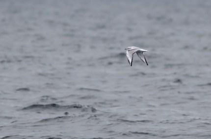 Bonaparte's Gull - immature (Photo by Alex Lamoreaux)
