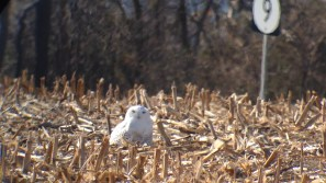 Snowy Owl at the intersection of Belts Rd. and Bayview Rd. near Port Penn, New Castle Co, DE on 1 December 2013. Photo by Tim Schreckengost.