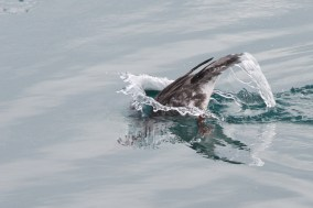 A Red-breasted Merganser diving (Photo by Nathan Goldberg)