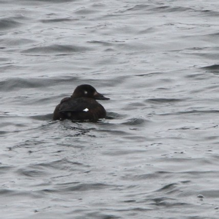 White-winged Scoter in DuPage County (Photo by Nathan Goldberg)