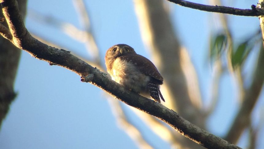 Ferruginous Pygmy-Owl - digiscoped with Leica APO-Televid 65mm scope and iPhone 5s using Phone Skope adapter (photo by Drew Weber)