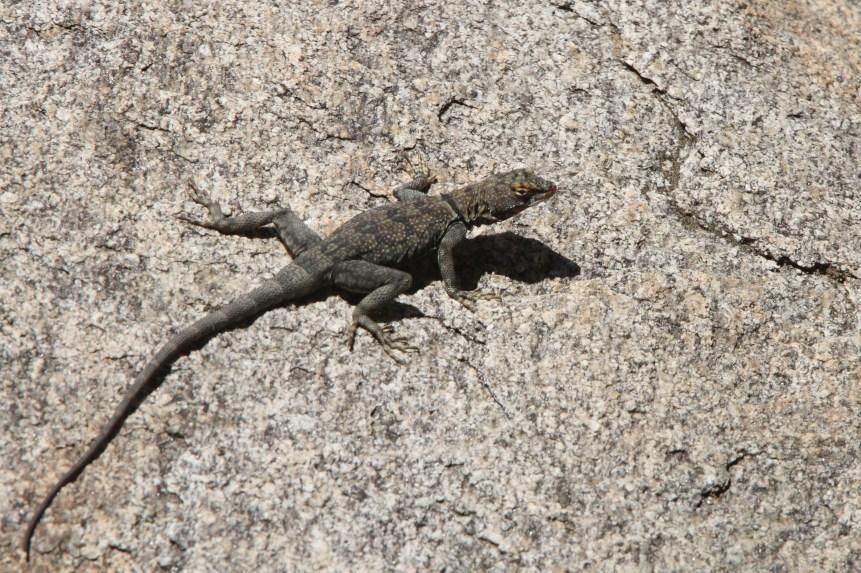 Mearns' Rock Lizard -- Petrosaurus mearnsi mearnsi (Photo by Nathan Goldberg)