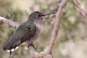 Female Costa's Hummingbird (Photo by Nathan Goldberg)
