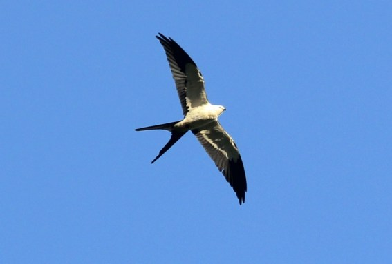Swallow-tailed Kite in the evening - Madriz, NI 3/6/14 (photo by Steve Brenner)