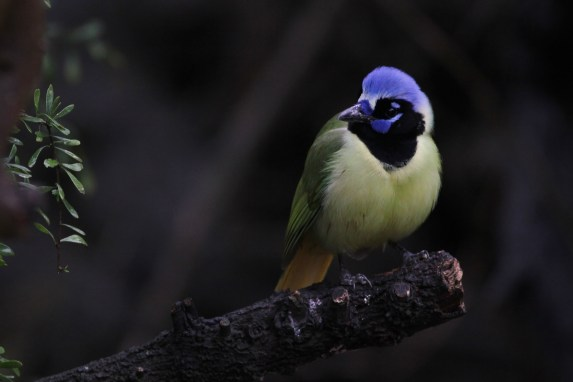 Green Jay at Laguna Atascosa NWR (Photo by Alex Lamoreaux)