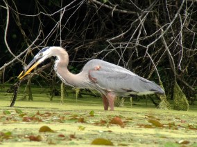 Great Blue Heron with Florida Banded Water Snake. Photographed with Leica APO-Televid 65mm and Extender 1.8x at 90x magnification. (Jeff Bouton)