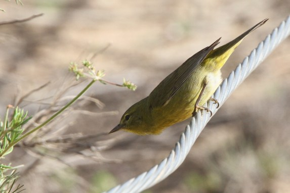 Orange-crowned Warbler (Photo by Nathan Goldberg)