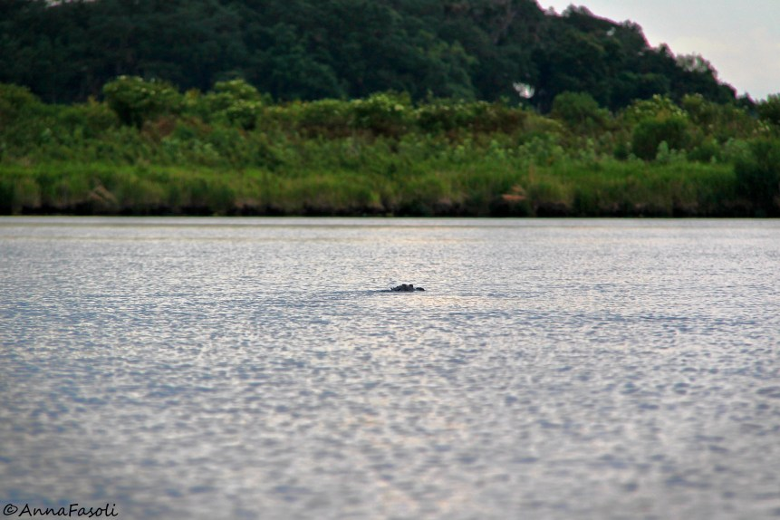 An alligator (Anna Fasoli)