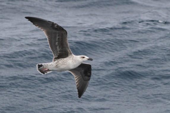 Great Black-backed Gull juvenile (Photo by Alex Lamoreaux)