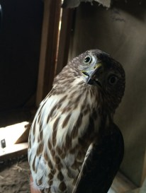 Immature Cooper's Hawk. Note the head size, shape, and clean look to body streaks