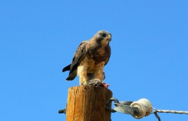 Swainson's hawk enjoying a meal down in the valley (photo by Steve Brenner)