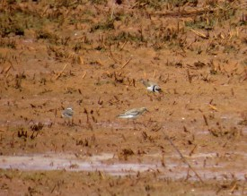 Alex picked out this Baird's Sandpiper feeding no more than 50 meters from us. (Photo by Alan Kneidel)