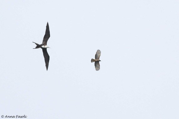 Magnificent Frigatebird versus Hook-billed Kite
