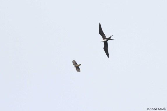 Magnificent Frigatebird versus Hook-billed Kite