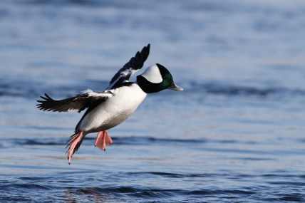 Bufflehead (male) landing near me at West Fairview. (Photo by Alex Lamoreaux)