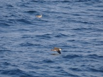 Great Shearwater with Cory's Shearwater in the distance