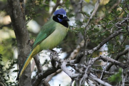 Green Jay (Photo by Alex Lamoreaux)
