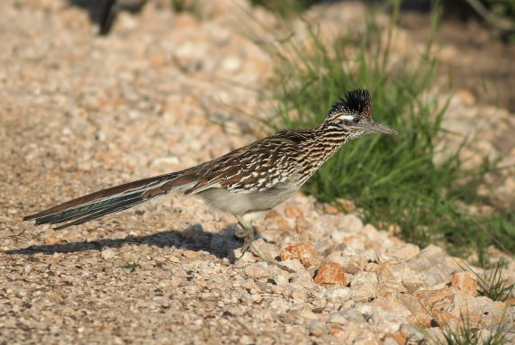 Greater Roadrunner (Photo by Alex Lamoreaux)