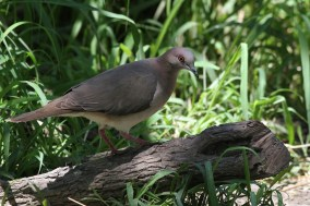 White-tipped Dove (Photo by Alex Lamoreaux)