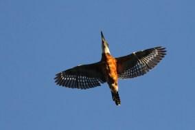 Ringed Kingfisher (Photo by Alex Lamoreaux)