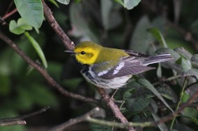 Black-throated Green Warbler on South Padre Island - one of 35 possible warbler species that can be found during this trip. (Photo by Alex Lamoreaux)