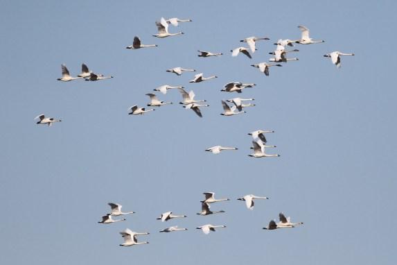 Tundra Swans (Photo by Alex Lamoreaux)