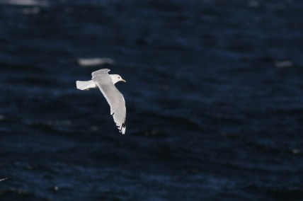 Adult Common Mew Gull along Race Point (Photo by Alex Lamoreaux)