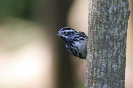 Black-and-white Warbler (Photo by Alex Lamoreaux)