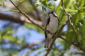 Chestnut-sided Warbler adult male (Photo by Alex Lamoreaux)