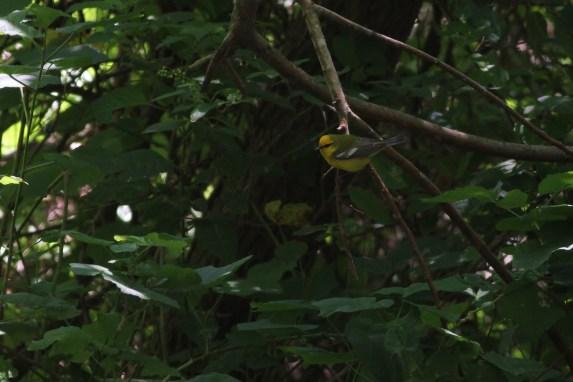 Blue-winged Warbler (Photo by Alex Lamoreaux)
