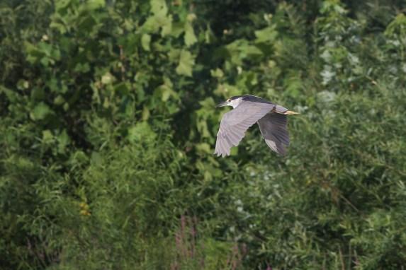 Black-crowned Night-Heron (adult)
