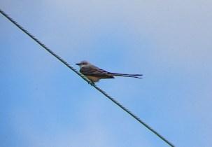 Flycatching Scissor-tail