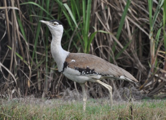 A magnificent bustard