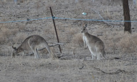 Roadside roos