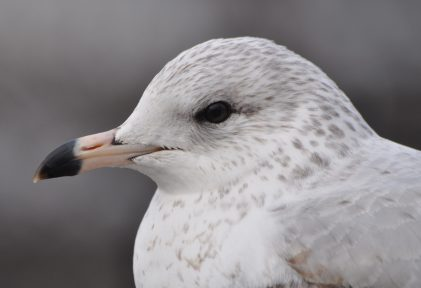 Brown-eyed gull