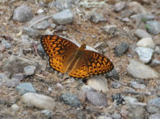 Fancy fritillary