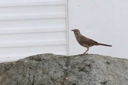 Curve-billed Thrasher - Photo by Nathan Goldberg