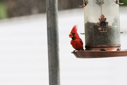 Male (Southwestern) Northern Cardinal - Photo by Nathan Goldberg