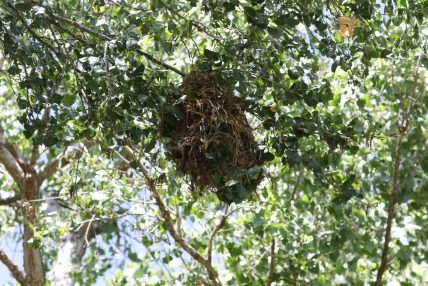 Rose-throated Becard nest - Photo by Nathan Goldberg